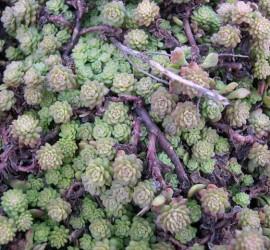 Sedum glaucophyllum _1_