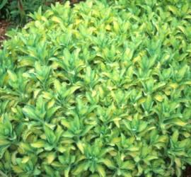 sedum-alboroseum-mediovariegatum-nice-clump.i-1129.s-17183.r-01
