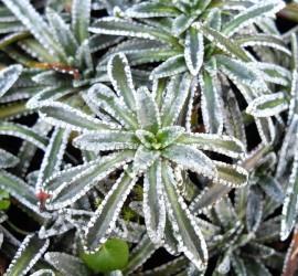 SaxifragapaniculataCarniolica