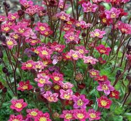 fruehblueher-04-saxifraga-arendsii-hybriden-steinbrech-polsterstaude