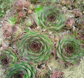 sempervivum tectorum 159042